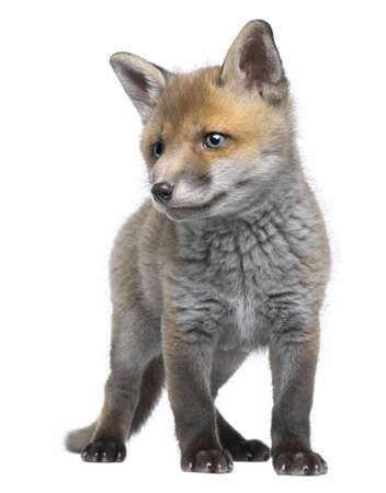 shape cub: Red fox cub, 6 Weeks old, Vulpes vulpes, in front of a white background