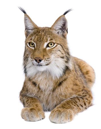 lince: Lynx lynx, Lynx lynx, 5 a�os de edad, delante de un fondo blanco