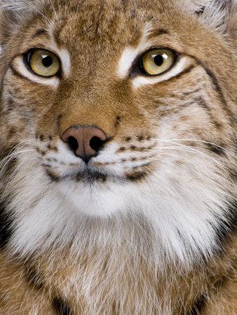 catlike: Close-up of Eurasian Lynx, Lynx lynx, 5 years old Stock Photo