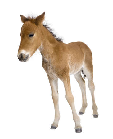 weeks: Portrait of foal, 4 weeks old, standing in front of white background, studio shot