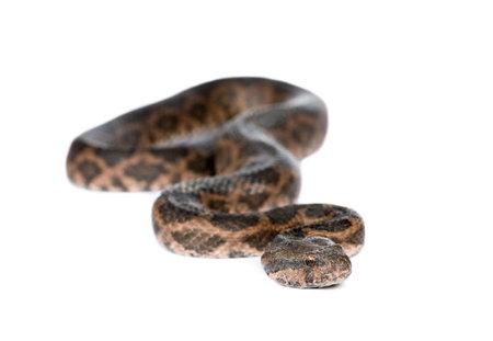 slithering: Portrait of slithering snake against white background, studio shot