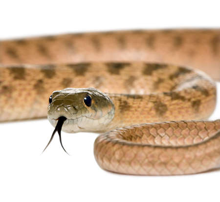 slithering: Close-up of Rat snake, Hemorrhois algirus, against white background, studio shot