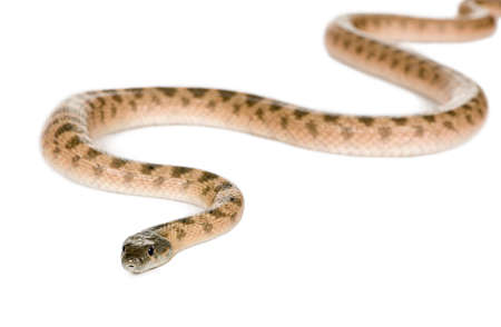 Rat snake, Hemorrhois algirus, against white background, studio shot Stock Photo - 6378645