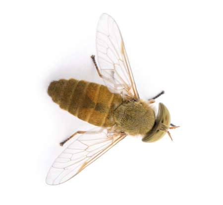 horsefly: High angle view of Horse-fly, Atylotus rusticus, in front of white background