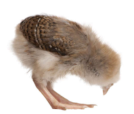 bending over: Chick, 13 days old, bending over in front of white background, studio shot