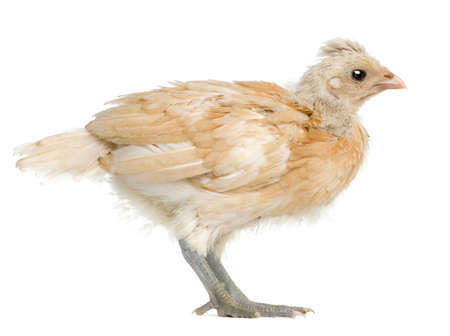 polish chicken: Polish Chicken, 21 days old, standing in front of white background