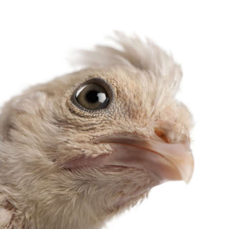 polish chicken: Close-up of Polish Chicken, 23 days old, in front of white background, studio shot