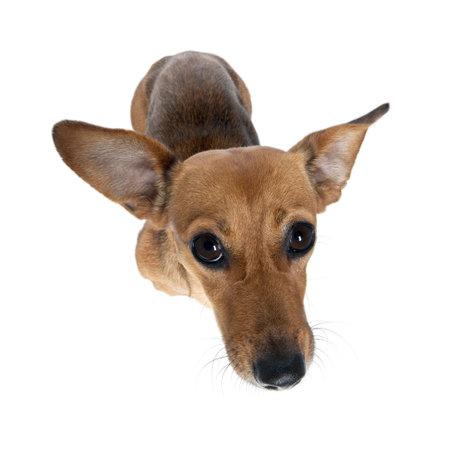 ハイアングルビュー: 白い背景に、スタジオ撮影前の犬の地位の高角度のビュー 写真素材