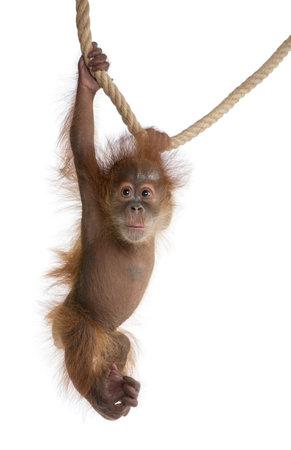 sumatran: Baby Sumatran Orangutan, 4 months old, hanging from rope in front of white background Stock Photo