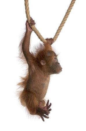 orangutang: Baby Sumatran Orangutan, 4 months old, hanging from rope in front of white background Stock Photo