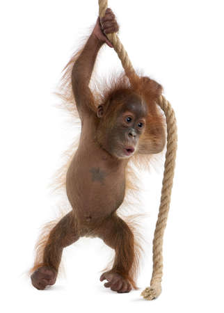 Baby Sumatran Orangutan, 4 months old, holding onto rope in front of white background Stock Photo - 6379074