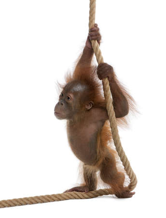 Baby Sumatran Orangutan, 4 months old, holding onto rope in front of white background photo