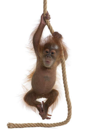 Baby Sumatran Orangutan, 4 months old, hanging from rope in front of white background Stock Photo - 6378710