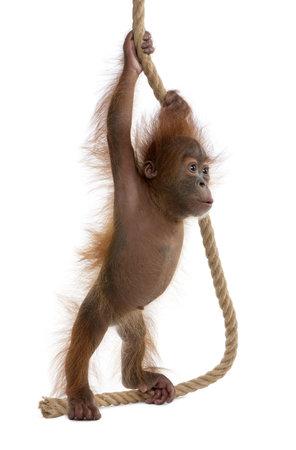 orangutang: Baby Sumatran Orangutan, 4 months old, holding onto rope in front of white background
