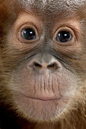 orangutang: Close-up of baby Sumatran Orangutan, 4 months old