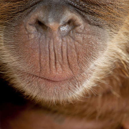 Close-up of baby Sumatran Orangutan's nose and mouth, 4 months old Stock Photo - 6379371