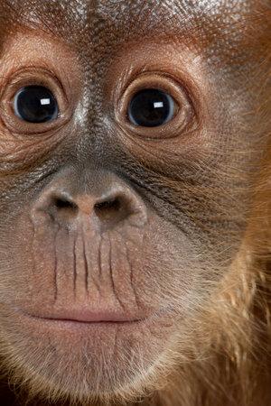 Close-up of baby Sumatran Orangutan, 4 months old Stock Photo - 6379503