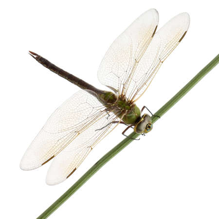 dragonfly wing: Old Emperor dragonfly, Anax imperator, on blade of grass in front of white background Stock Photo