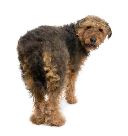looking around: Rear view of Airedale dog, 1 year old, standing in front of a white background