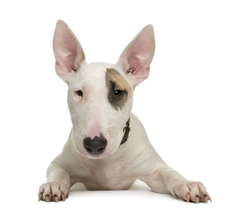 bull terrier: Bull Terrier puppy, 5 months old, in front of a white background, studio shot Stock Photo