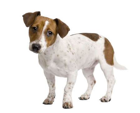 Jack Russell Terrier puppy, 7 months old, standing in front of a white background photo