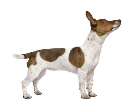 jack russell: Jack Russell Terrier puppy, 7 months old, standing in front of a white background