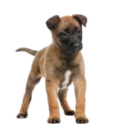 Belgian Shepherd Dog, 7 weeks old, standing in front of a white background photo