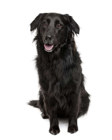 crossbreed: Cross-breed between a Labrador and a Australian Shepherd, sitting in front of a white background