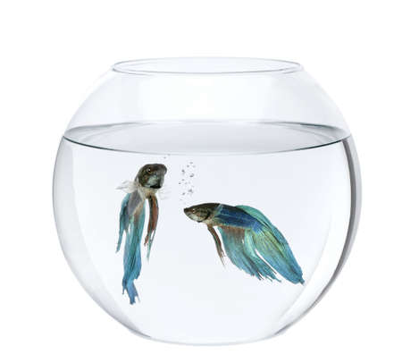 Blue Siamese fighting fish in fish bowl, Betta Splendens, in front of white background photo