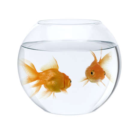 goldfish bowl: Two goldfish in fish bowl, in front of white background Stock Photo