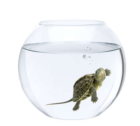 Small turtle swimming in fish bowl, in front of white background photo