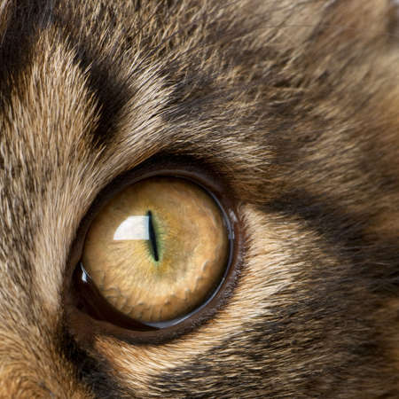 coons: Close-up of Maine Coons eye, 7 months old