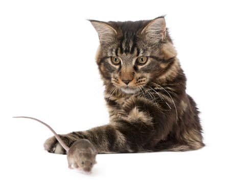 Main Coon pawing at wild mouse, 7 months old, in front of white background photo