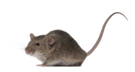 Wild mouse, in front of white background, studio shot Stock Photo - 6378691