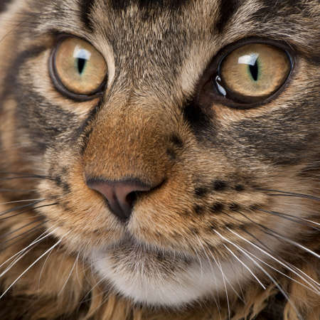 coons: Close-up of Maine Coons face with whiskers, 7 months old