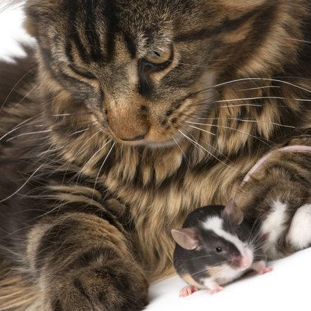maine coon: S�ance de Maine Coon et souris, 7 mois, en face du fond blanc  Banque d'images