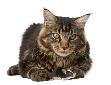 Maine Coon and mouse, 7 months old, sitting in front of white background photo