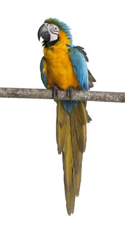 blue parrot: Blue-and-yellow Macaw, Ara ararauna, perched on branch in front of white background Stock Photo