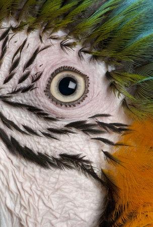ararauna: Close-up del ojo del guacamayo azul y amarillo, Ara ararauna Foto de archivo
