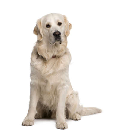 sad dog: Golden retriever, 20 months old, sitting in front of white background Stock Photo