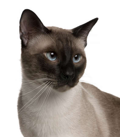 gray cat: Portrait of Siamese cat, 1 year old, in front of white background