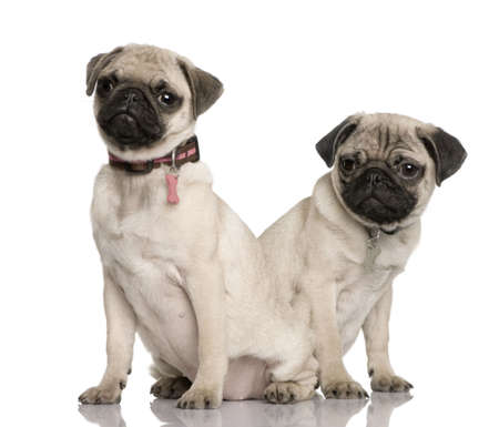 3 4 length: Two pug puppies, 3 and 4 months old, sitting in front of white background
