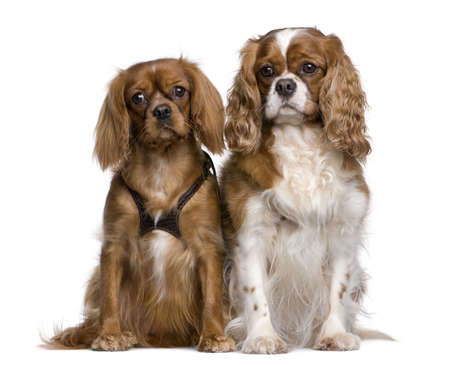 Two Cavalier King Charles Spaniels, 1 and 3 years old, sitting in front of white background photo