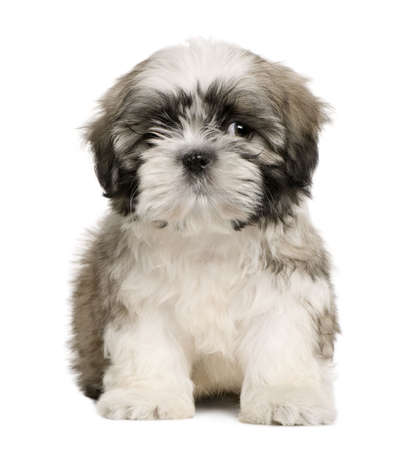 Shih tzu puppy, 9 weeks old, sitting in front of white background photo