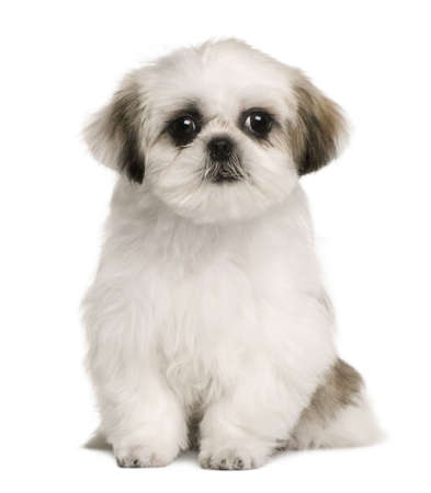 Shih tzu puppy, 4 months old, sitting in front of white background photo