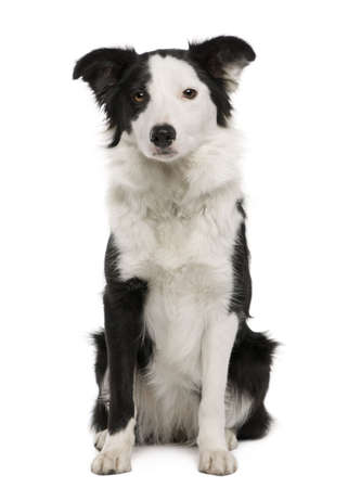 Young Border Collie, 15 months old, sitting in front of white background photo