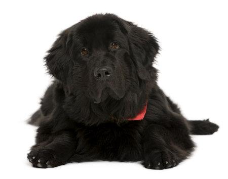 cane terranova: Cane Newfoundland, 10 mesi di et�, davanti a sfondo bianco, studio shot