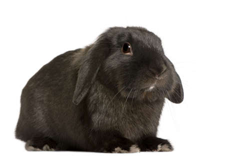 lop lop rabbit white: Lop rabbit, 18 months old, in front of white background, studio shot Stock Photo