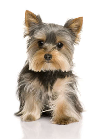 Yorkshire Terrier puppy, 7 months old, sitting in front of white background