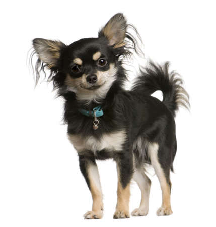 Chihuahua dog, 9 months old, standing in front of white background, studio shot Stock Photo - 6378807
